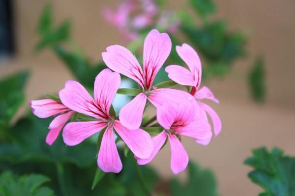 Pelargonie lila