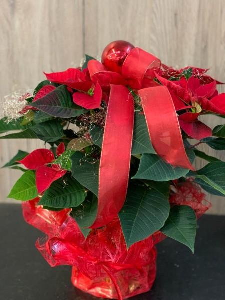 Weihnachrstern, rot mit Deko
