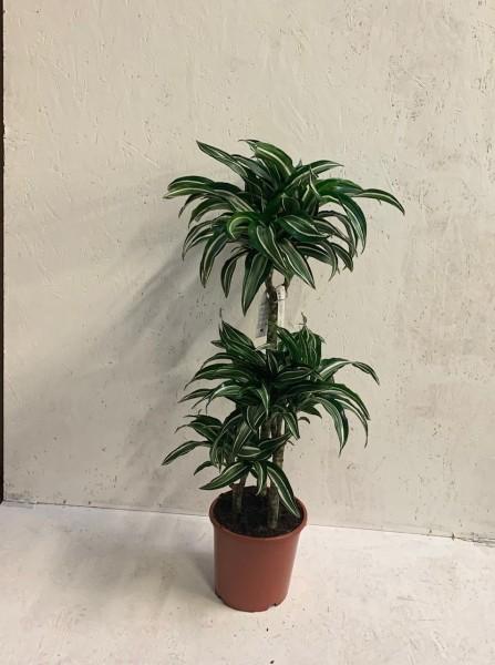 Drachenbaum/Dracaena fragrans