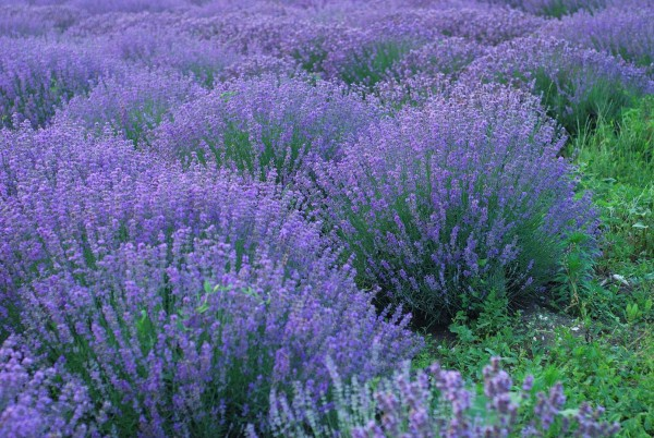 Lavendel-Rabatte