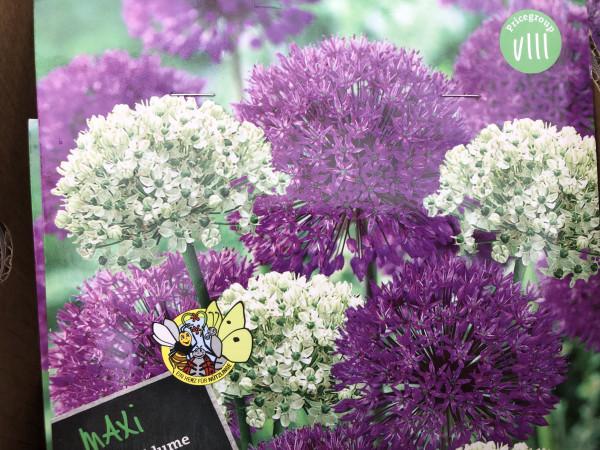Allium-Zierlauchzwiebeln