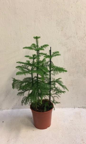 Zimmertanne/Auracaria heterophylla