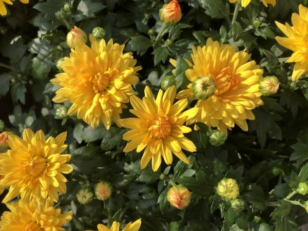 Chrysantheme gelb