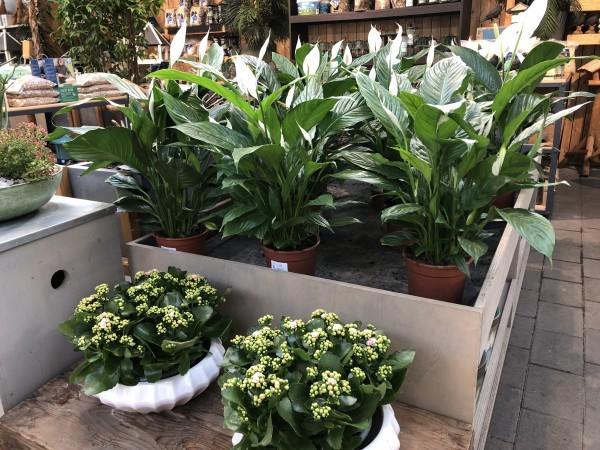 Einblatt/Spathiphyllum