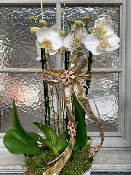 "Orchidee ""White Christmas"""