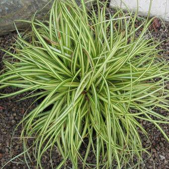 """Ziergras """"Carex"""""""