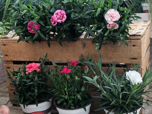 Garten-Nelke, verschiedene Farben